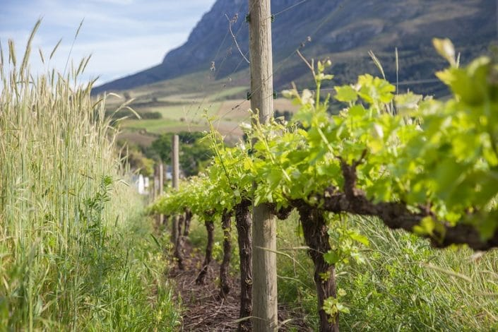 Banhoek Lodge - wijngaard