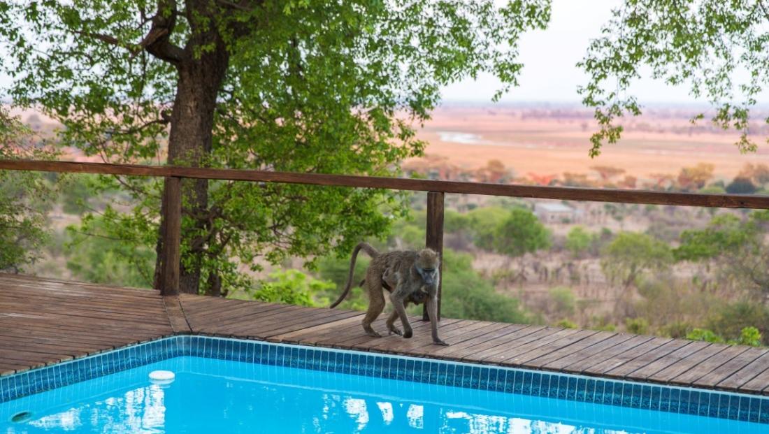Chobe Elephant Camp - Baviaan bij het zwembad