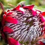 Galenia Estate - bloem