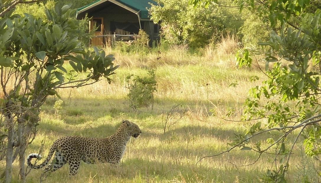 Sango Safari Camp - Luipaard loopt voorbij het kamp