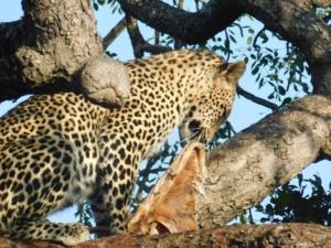 Luipaard eet in boom