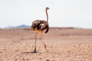 Olmo van Herwaarden - Struisvogel