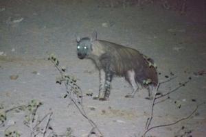 Olmo van Herwaarden - Brown Hyena