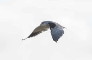 Olmo van Herwaarden - Black-shouldered kite