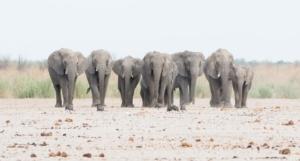 Olmo van Herwaarden - Olifanten familie