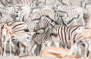 Olmo van Herwaarden - Zebra's