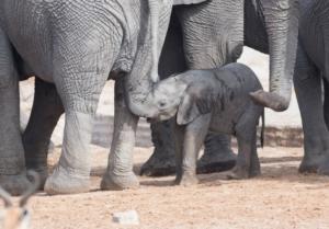 Olmo van Herwaarden - Baby olifant