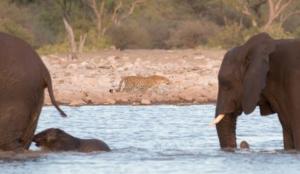 Olmo van Herwaarden - Luipaard op oever, olifanten in het water