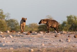 Olmo van Herwaarden - Hyena's