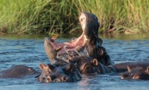 Olmo van Herwaarden - Nijlpaard in water met bek open