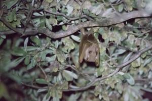 Olmo van Herwaarden - Vleermuis hangt in boom