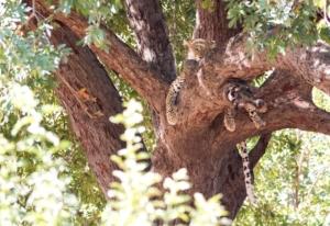 Olmo van Herwaarden - Luipaard in boom