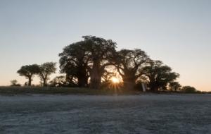 Olmo van Herwaarden - Nxai Pan baobab bomen