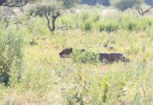 Olmo van Herwaarden - Jagende leeuwin