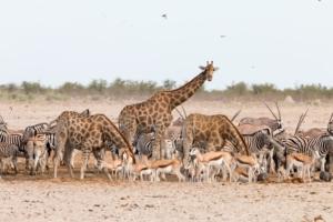 Olmo van Herwaarden - Giraffen en andere dieren bij drinkplaats Etosha