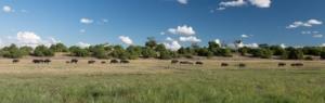 Olmo van Herwaarden - Buffels