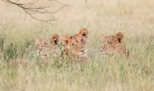 Olmo van Herwaarden - Leeuwenwelpen in het gras
