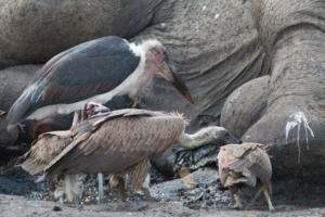 Olmo van Herwaarden - Marabou en gieren