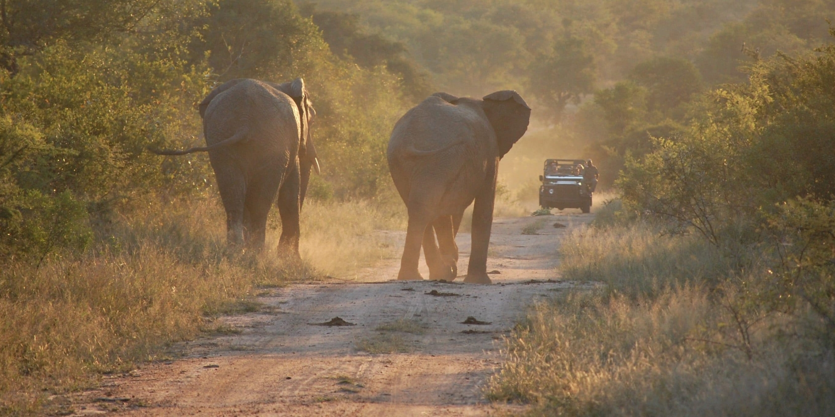 Out in Africa - Olifanten lopen richting game drive voertuig
