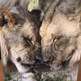 Tevreden klanten kaartje leeuwen