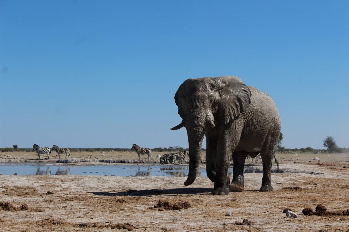 Nieuwsbrief Out in Africa - Feedback zomervakantie, olifant, Botswana