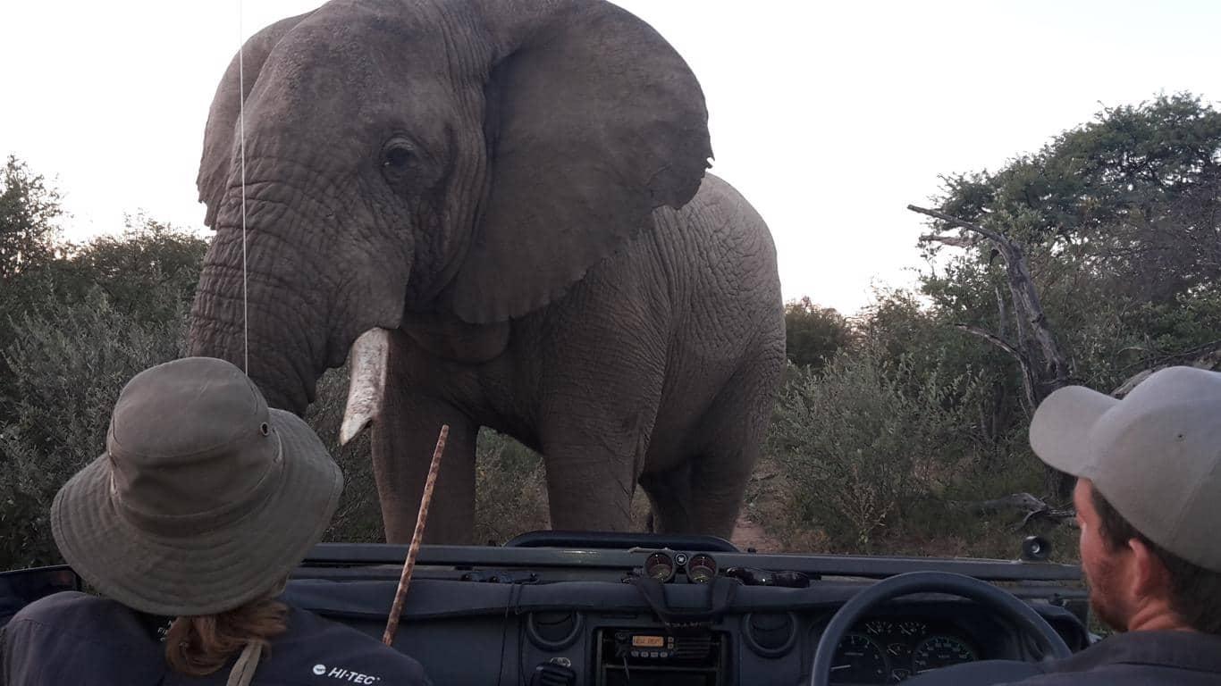 Rangercursussen: tijdens een safari is het belangrijk dat de ranger goed is getraind in het herkennen van diergedrag.