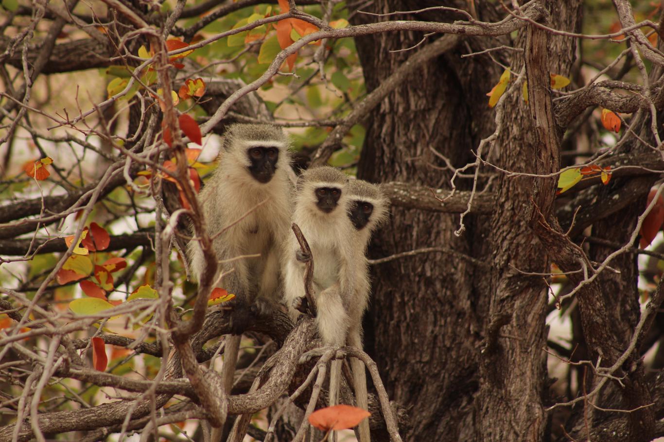 Rangercursussen: aapjes houden je vaak goed in de gaten, dus laat niets slingeren!