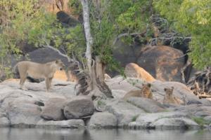 Fam. Peterse - Leeuwen op rotsen aan waterkant