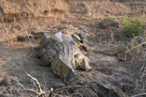 Fam. Peterse - Krokodil met dode impala