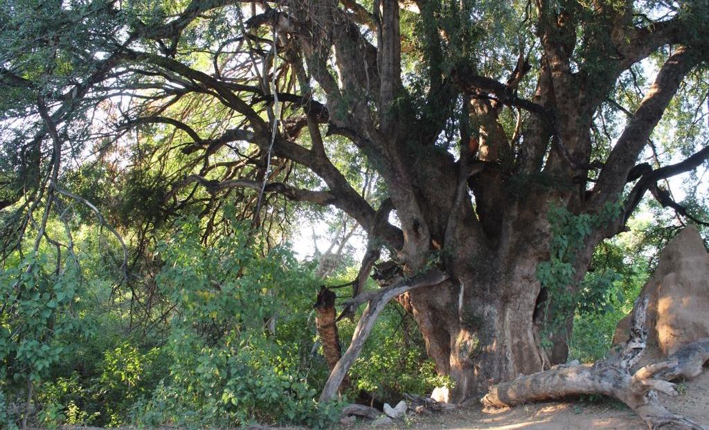 Molema Bush Camp - Grote bomen bij kampeerterrein