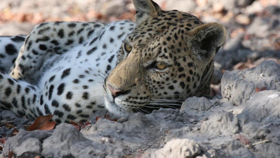 Moremi Game Reserve - Luipaard close-up