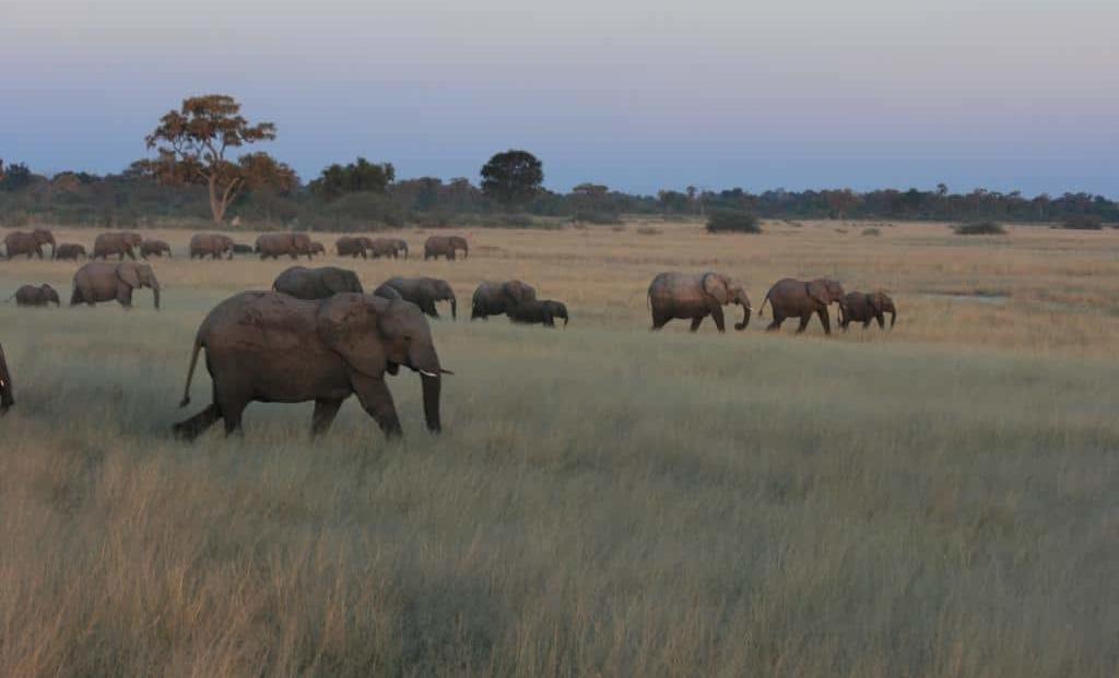 Moremi Game Reserve - Kudde olifanten in het gras