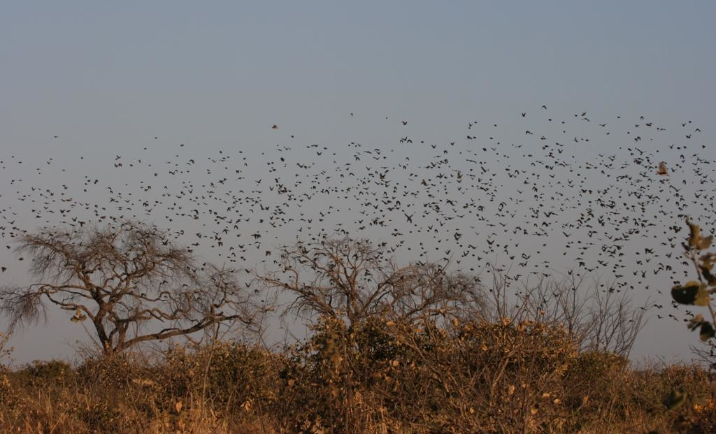 Moremi Game Reserve - Opvliegende zwerm vogels