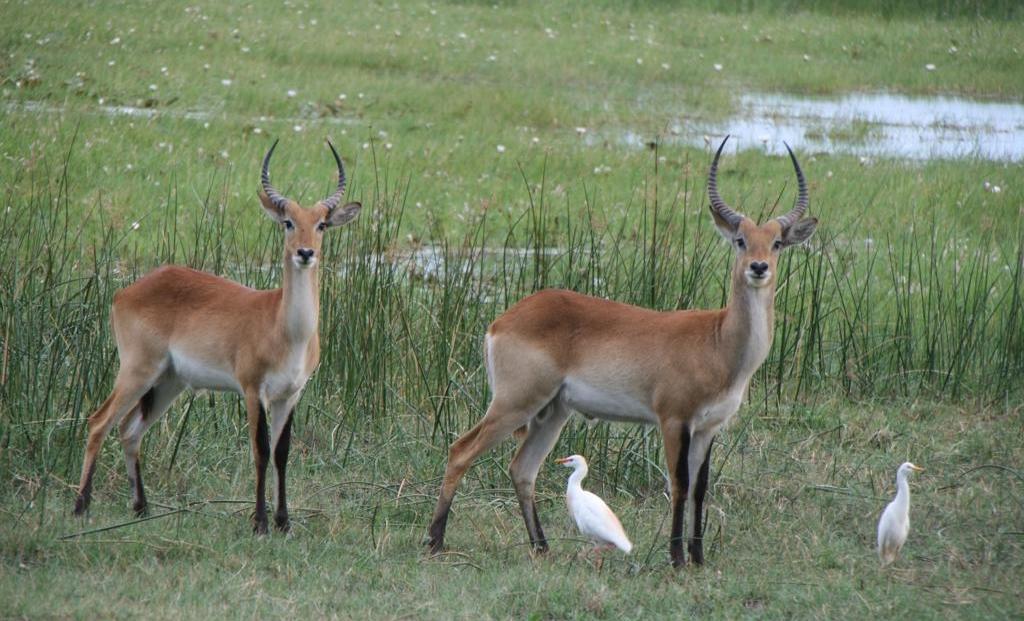 Moremi Game Reserve - Antilopen met koereigers