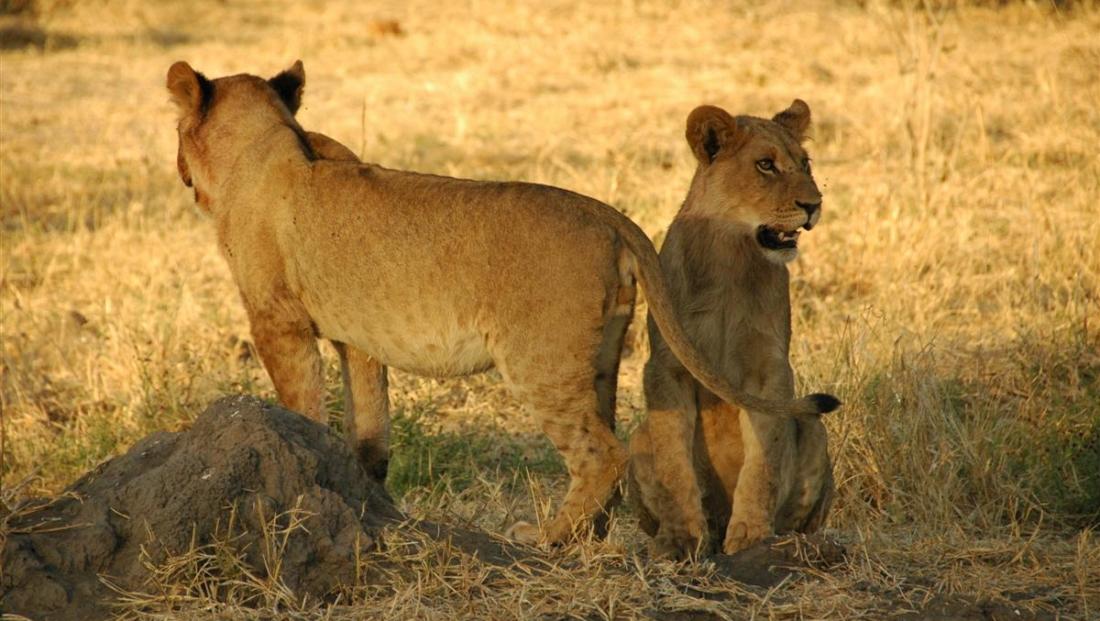 Moremi Game Reserve - Twee jonge leeuwen