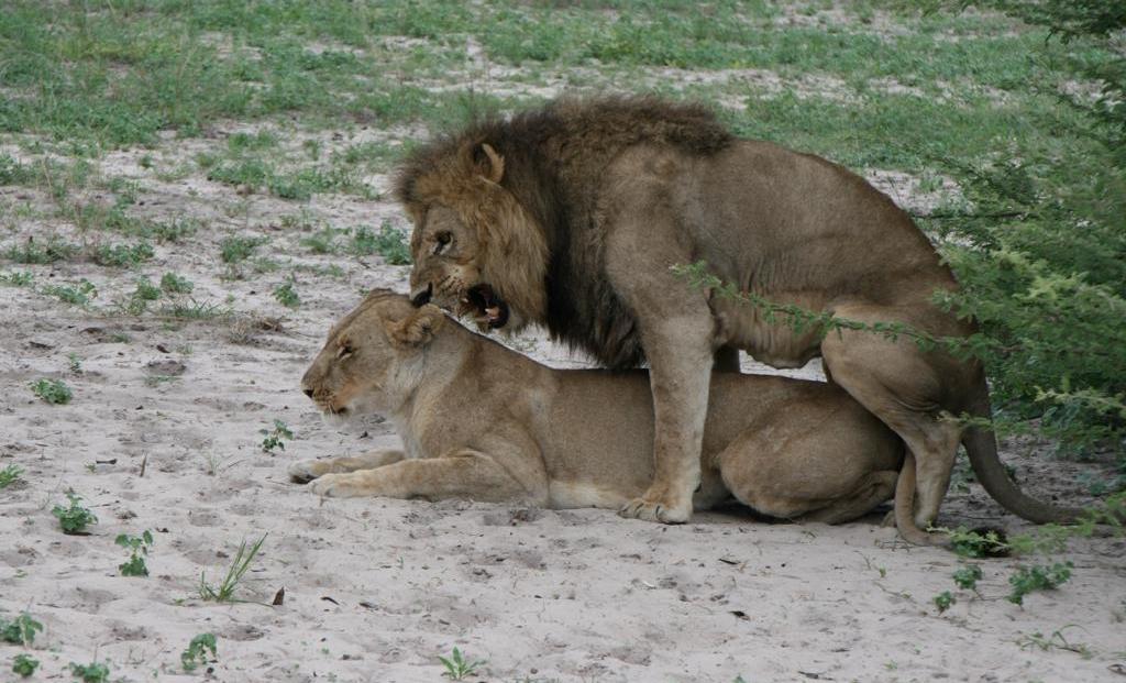Moremi Game Reserve - Parende leeuwen