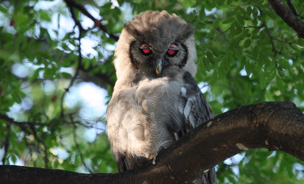 Moremi Game Reserve - Verraux's Eagle Owl