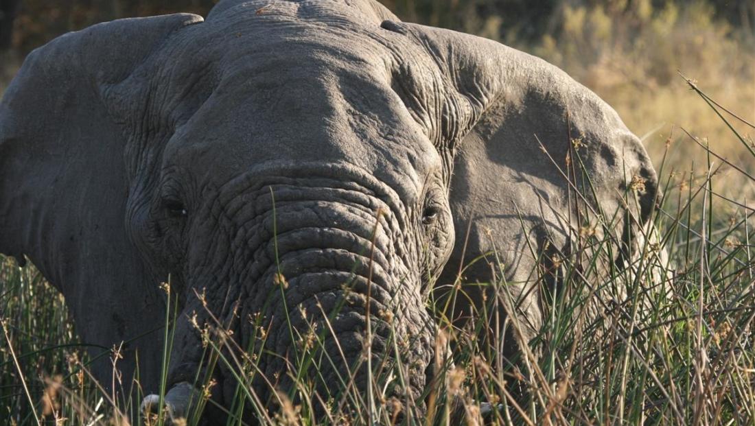 Moremi Game Reserve - Olifant close-up