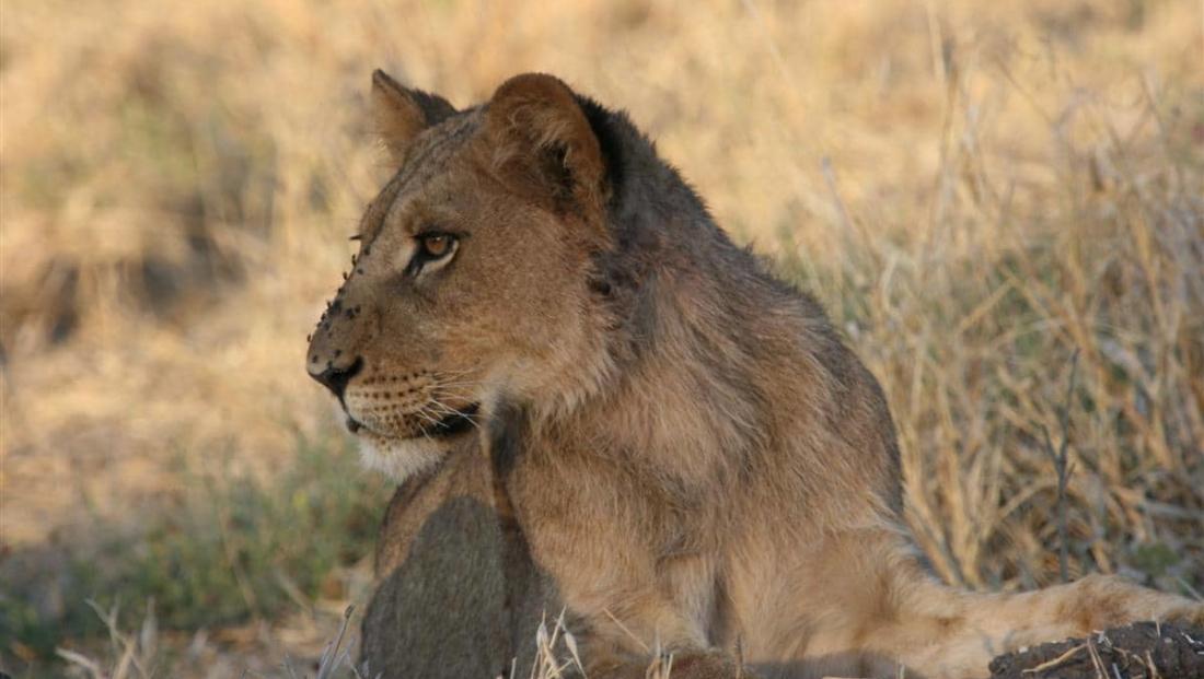 Moremi Game Reserve - Jonge mannetjesleeuw met vliegen op zijn neus