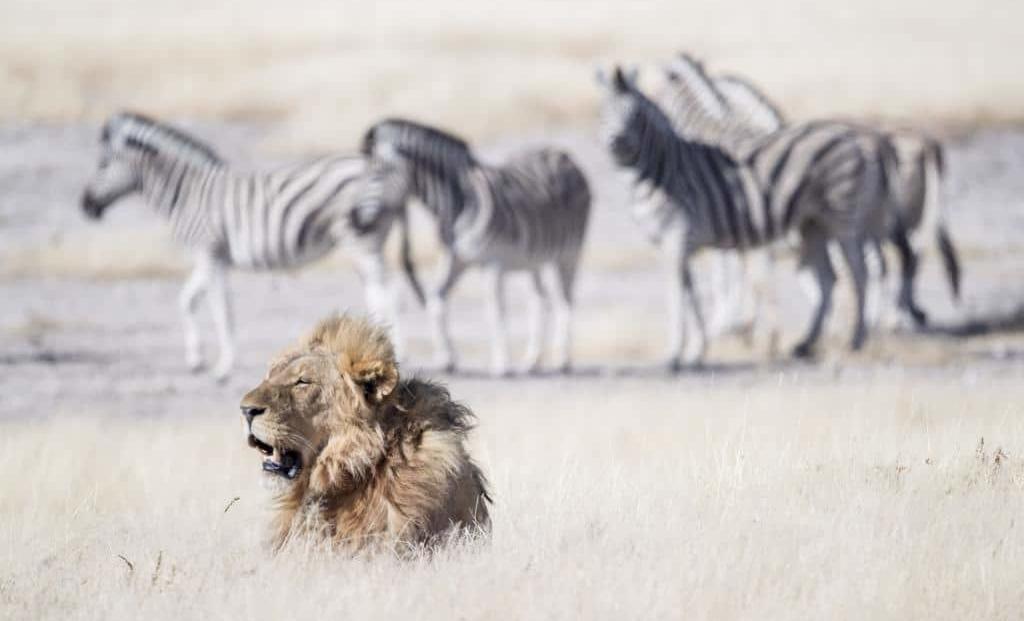 Onguma Campsite - leeuw - zebra's