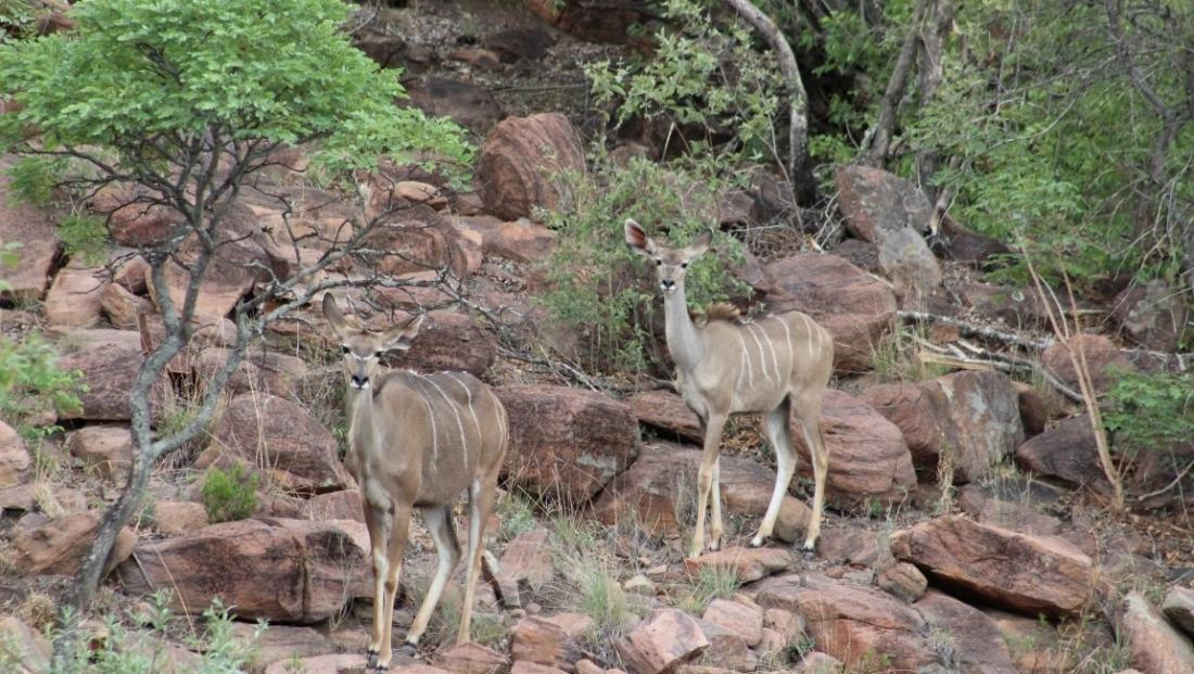 Kudu's in Welgevonden Game Reserve
