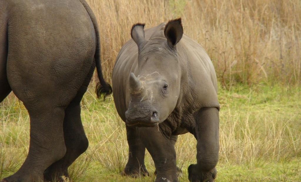 Baby neushoorn in Welgevonden Game Reserve