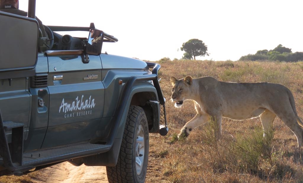 Woodbury Tented Camp - leeuw - game drive