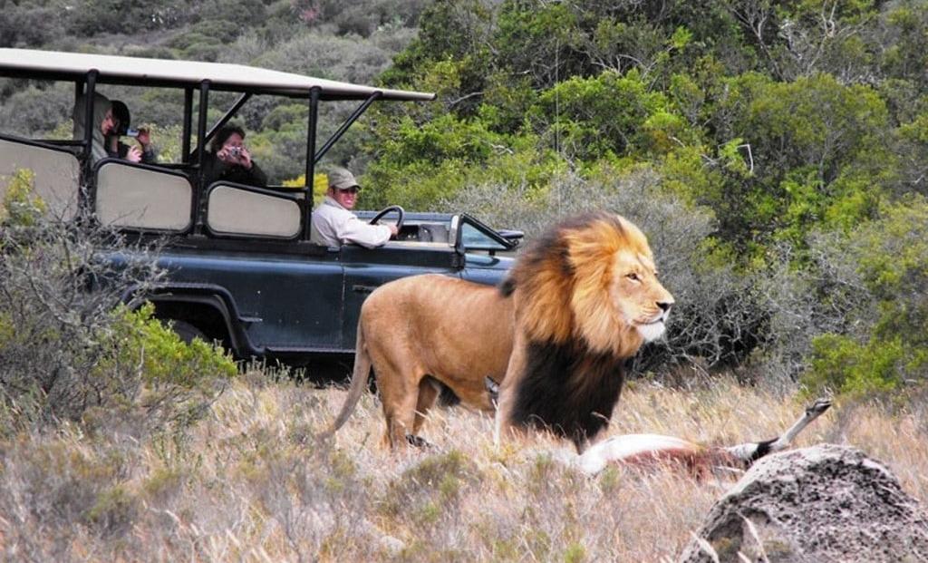 Amakhala Game Reserve - game drive - leeuw