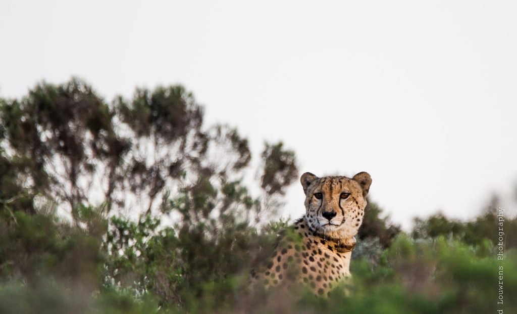 Amakhala Game Reserve - Cheetah