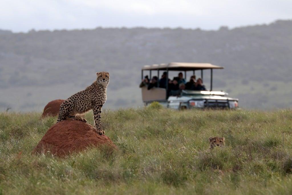 Huwelijksreizen Zuid-Afrika: Rondom Port Elizabeth zijn enkele goede safari gebieden, bijvoorbeeld Amakhala Game Reserve.