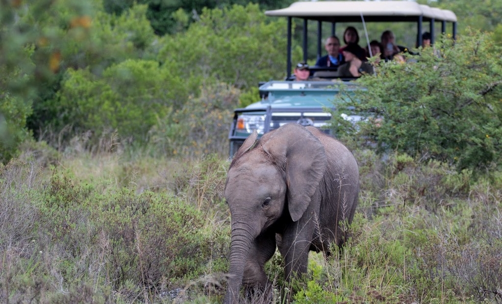 Amakhala Game Reserve - olifant voor game drive voertuig
