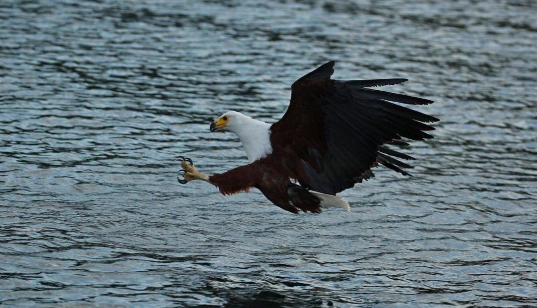 Lake Malawi - Fish Eagle