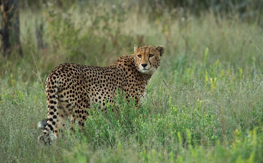 Erindi Game Reserve - Cheetah