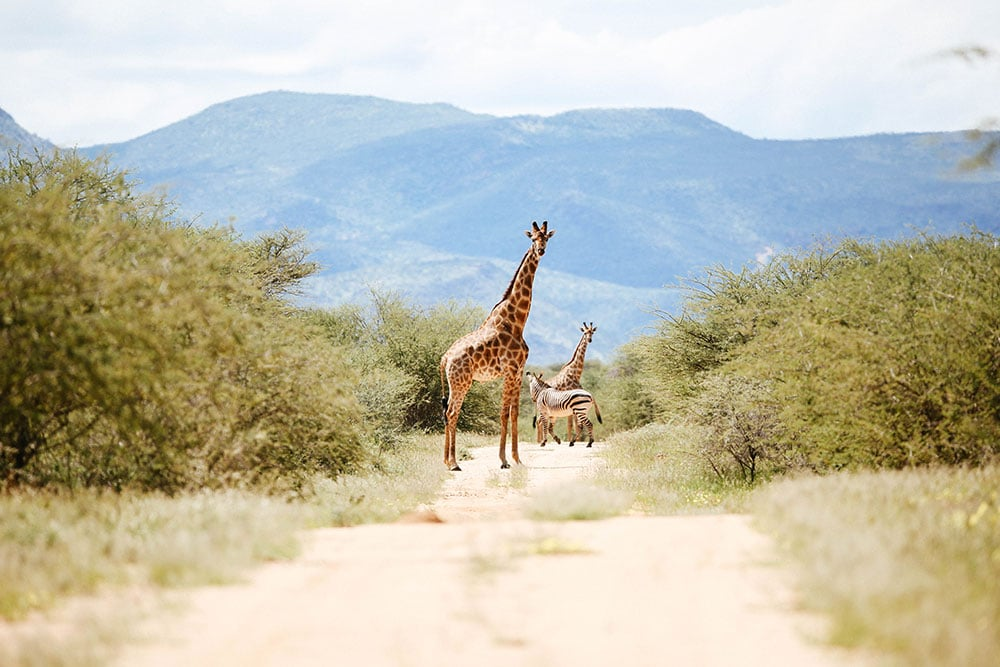 Erindi Game Reserve - Giraffen - Zebra